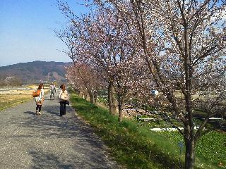 安曇野桜.jpg